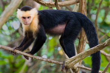 White faced Capuchin Monkey.