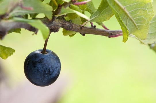 sloe berry ripens alone on blackthorn