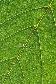 macro leaf (Acer pseudoplatanus)
