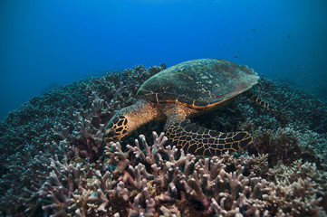 Green Turtle, Great barrier reef, australia