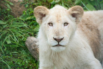 Portrait of a white lion cub