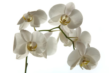 Tuinposter Orchidee A tender white orchid