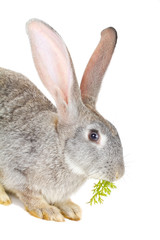 gray rabbit eating the carrot leaves