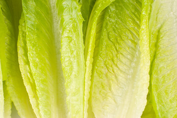 Lettuce vegetable on white background