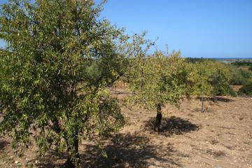 Fototapete - Alberi di mandorle nella campagna siciliana