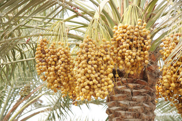 ripen Yellow and brown rutab dates