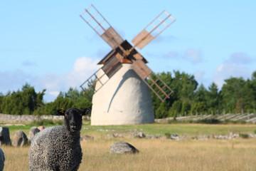 Schwarzes Schaf auf Gotland