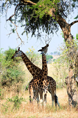 Two giraffes under a tree.