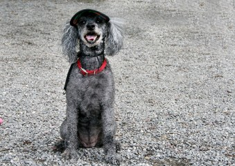 Poodle with hat on