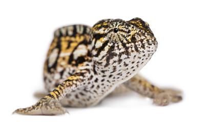 Young Panther Chameleon, Furcifer pardalis