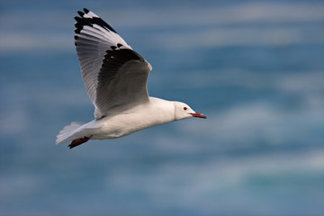 Kelp gull (Larus dominicanus) in flight