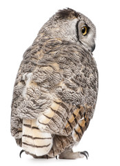 Rear view of Great Horned Owl, Bubo Virginianus Subarcticus