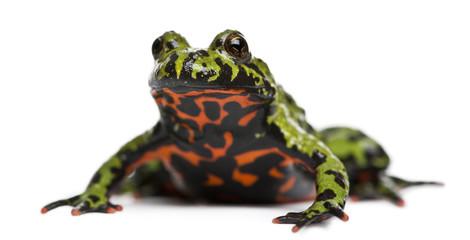 Oriental Fire-bellied Toad, Bombina orientalis