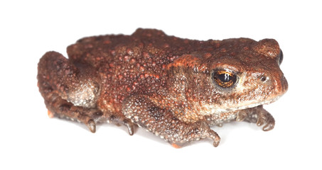 Baby Common toad (Bufo bufo) isolated on white.