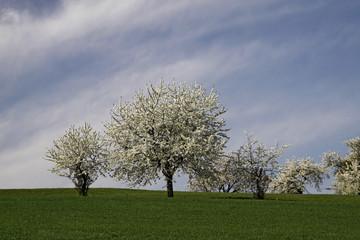 Kirschbaum im April, Hagen - Cherry trees in spring, Germany