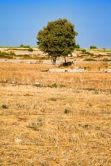 Fototapete - scena rurale con albero