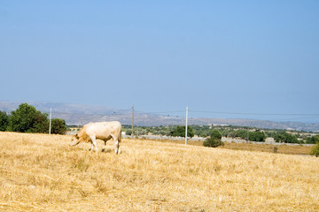 Fotomurales - Country scene with cow