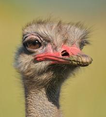 Retrato a un avestruz.