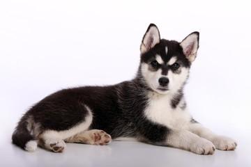 Siberian Husky Welpe liegend