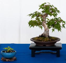 Fächerahorn als Shohin-Bonsai