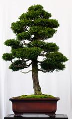 Muschelzypresse als Bonsai