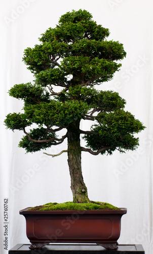 muschelzypresse als bonsai stockfotos und lizenzfreie. Black Bedroom Furniture Sets. Home Design Ideas