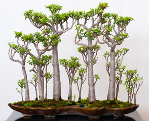 Crassula als Bonsai