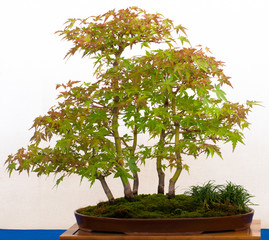Japanischer Fächerahorn als Bonsai-Wald
