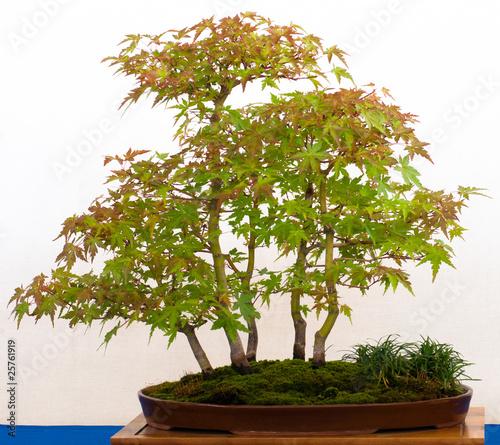 japanischer f cherahorn als bonsai wald stockfotos und. Black Bedroom Furniture Sets. Home Design Ideas