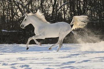 white horse stallion run gallop