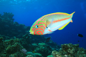 Colorful Tropical Fish (Klunzinger's Wrasse)