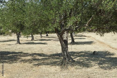olivier arbre photo libre de droits sur la banque d 39 images image 25772711. Black Bedroom Furniture Sets. Home Design Ideas