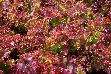 Violet lettuce