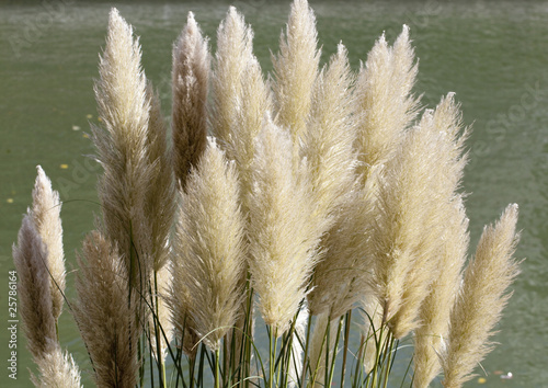 Plumet roseau herbe de la pampa photo libre de droits sur la banque d 39 images - Herbe de la pampa prix ...