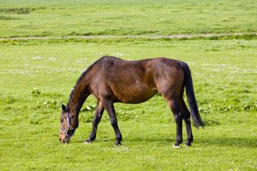 horse on meadow, Friesland, Netherlands