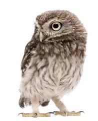 Little Owl, 50 days old, Athene noctua
