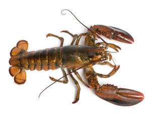 High angle view of American lobster, Homarus americanus