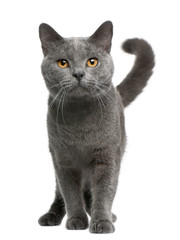 Wall Mural - Chartreux cat, 16 months old, standing