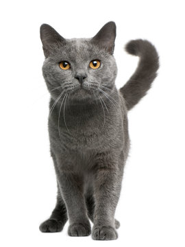 Chartreux cat, 16 months old, standing