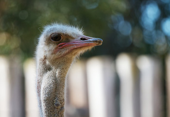 Ostrich head looking right