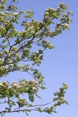 Flowering mountain ash