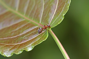 ants on the green leaf