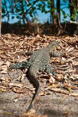 Monitor Lizard in the Whitsundays