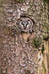 Rauhfußkauz, Aegolius funereus, schaut aus seiner Baumhöhle