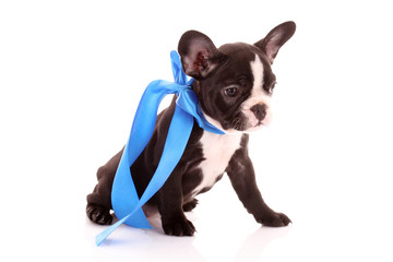 Young bulldog with blue bow isolated on white