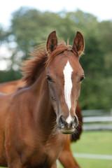 Arabisches Pferd