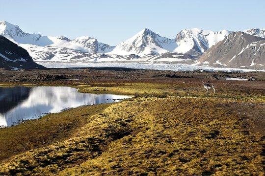 Arctic summer landscape with reindeer (Svalbard)