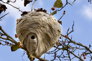 Hornet Nest III - Fall View of Active Nest