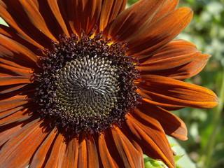 Sunflower, flower core