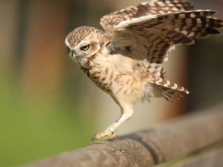 Burrowing Owl landing on a fence